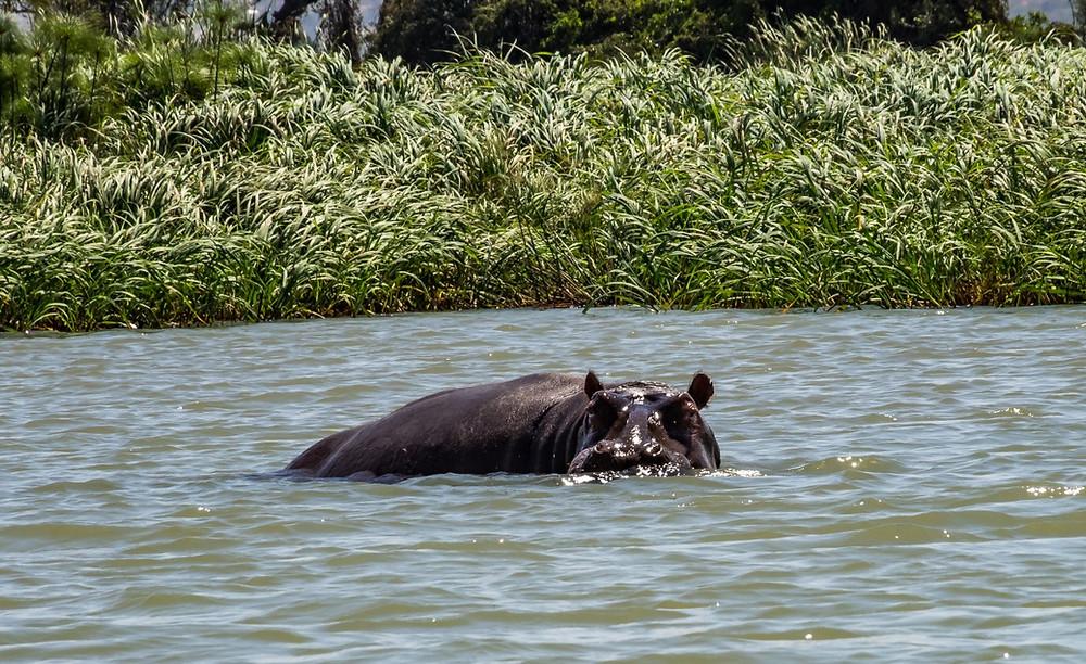 lac tana ethiopie hippos