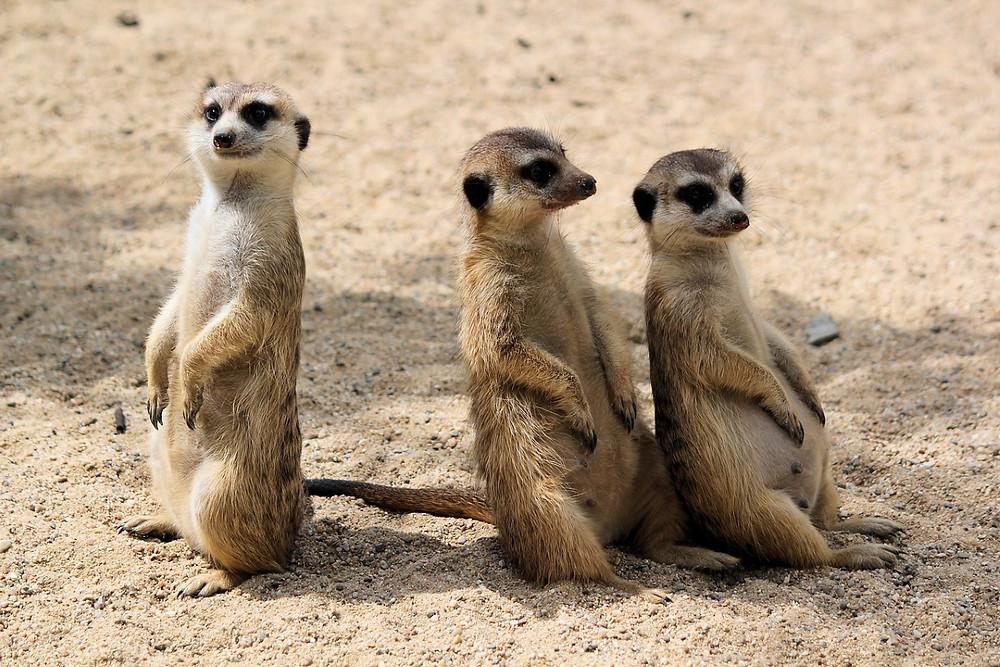 suricates namibie grootfontein