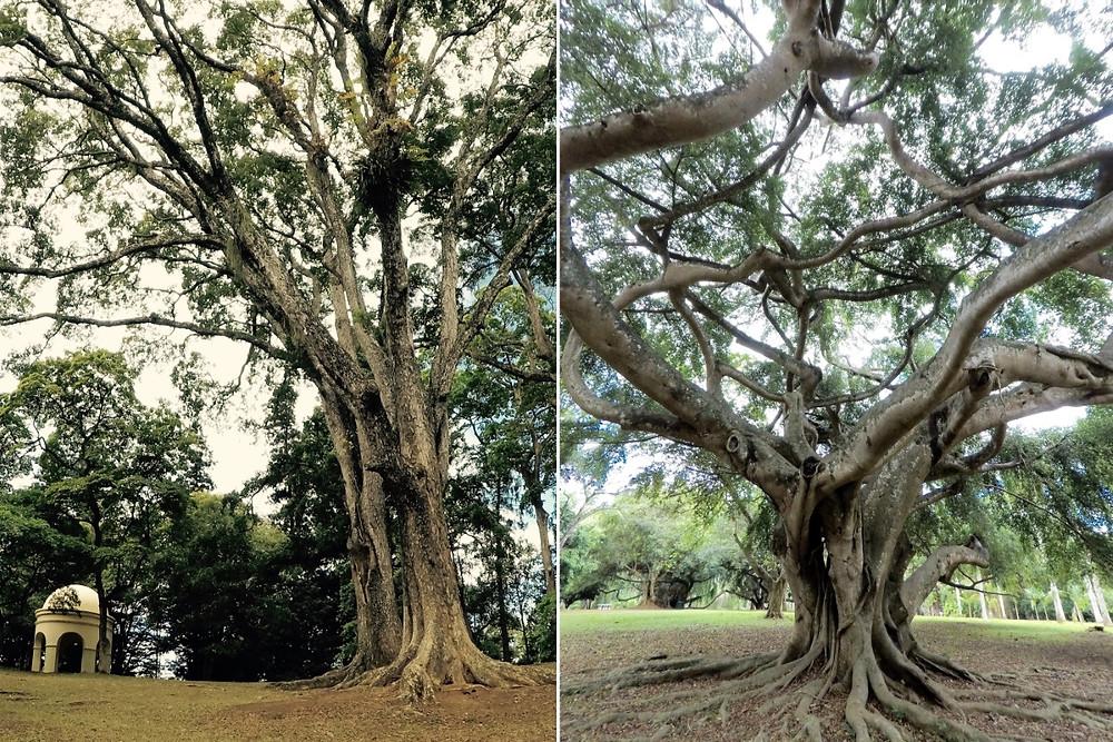 Arbres du Jardin Botanique Kandy Sri Lanka