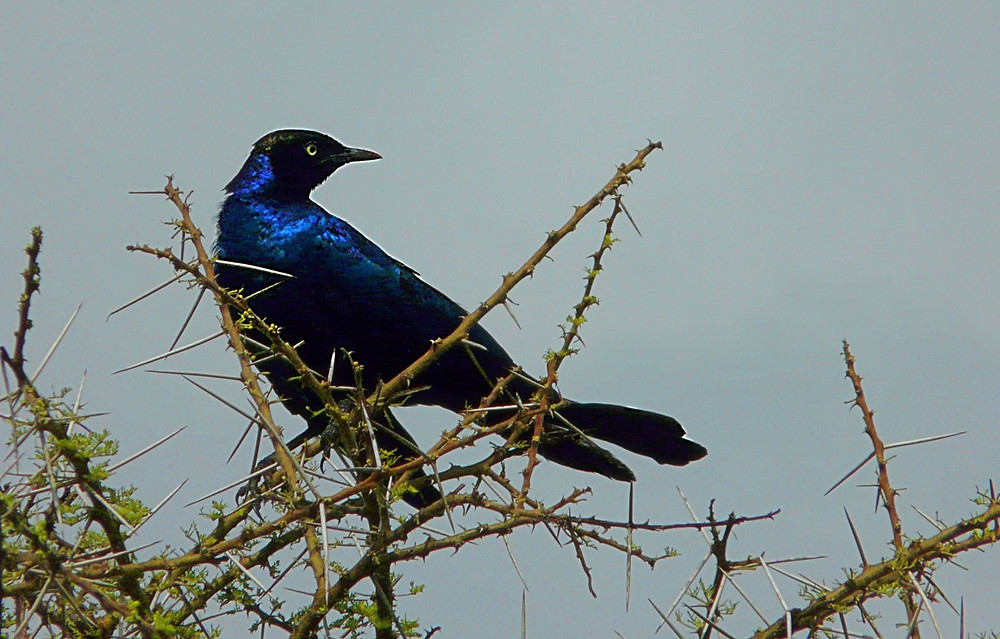 Blue Starling (Choucador à oreillons bleus) Serengeti