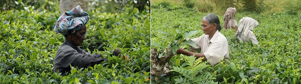 Cueilleuses thé Ella Sri Lanka