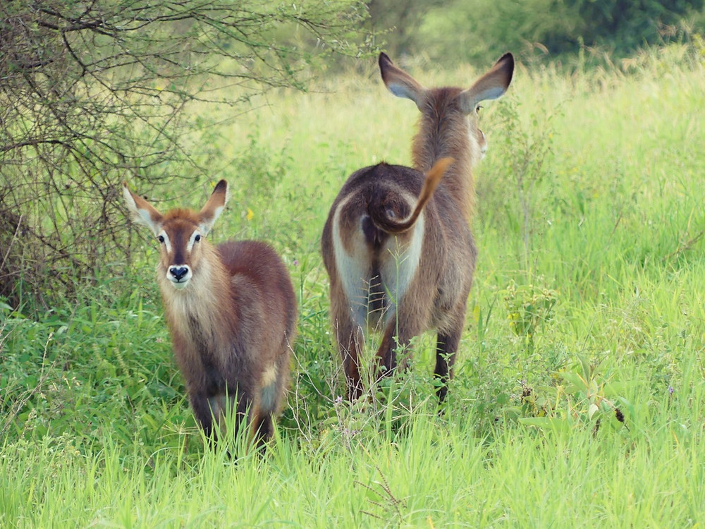 waterbucks tarangire