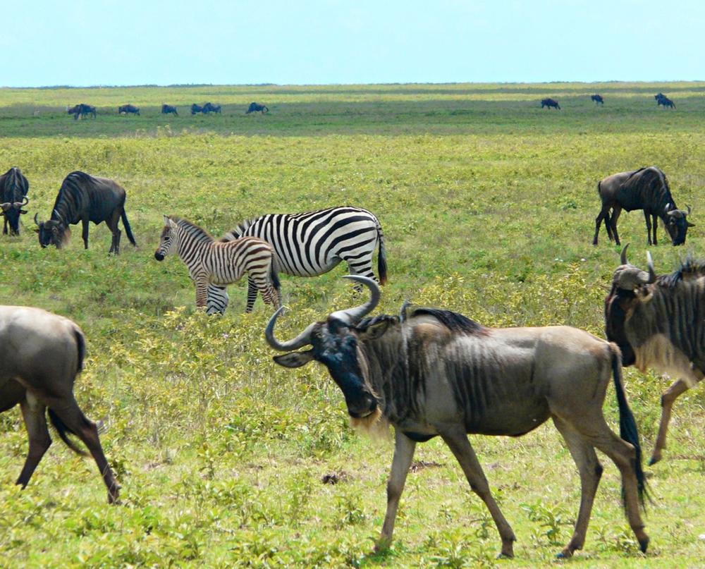 Gnous zèbres parc serengeti