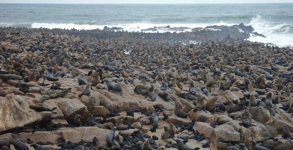 Cape cross otaries Namibie