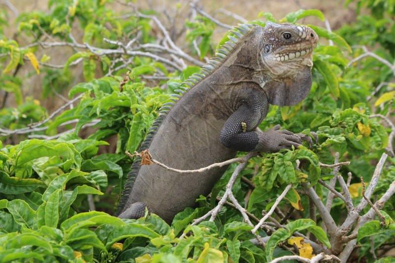 iguanes désirade guadeloupe