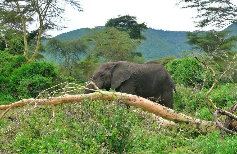 Foret ngorongoro elephant