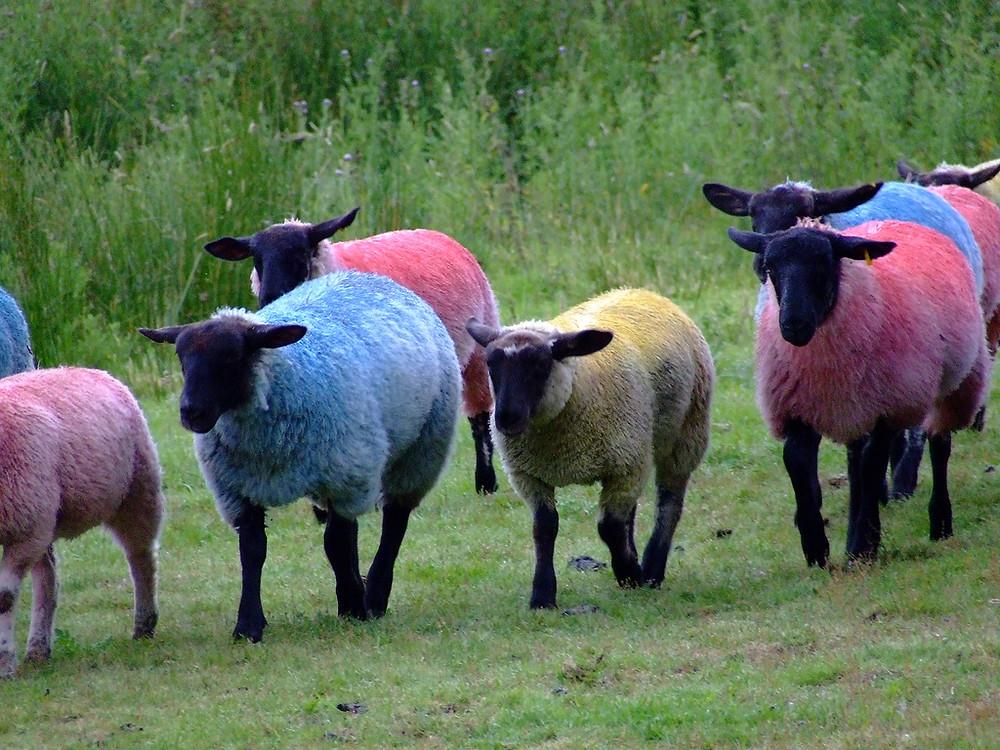 moutons en couleur