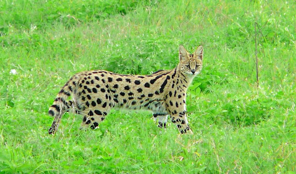 serval Ngorongoro Tanzanie safari