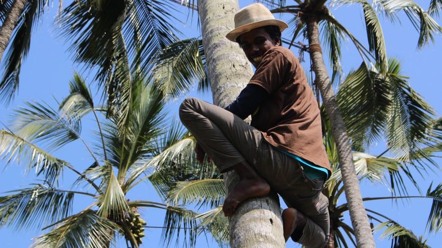 Negombo nectar de palme