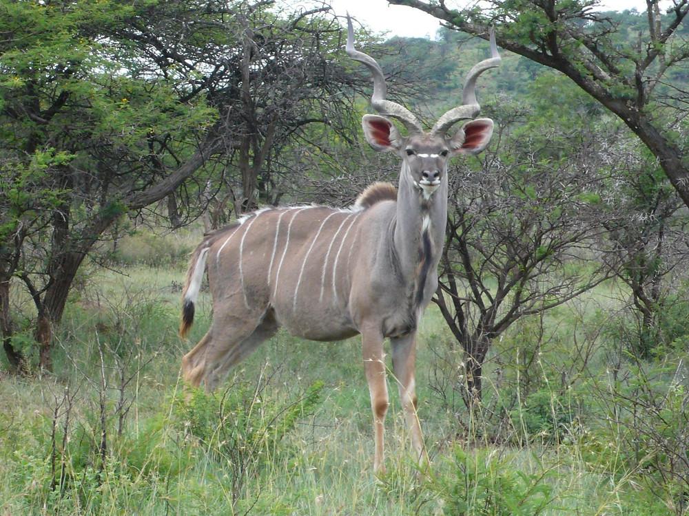 koudou safari weenen afrique du sud