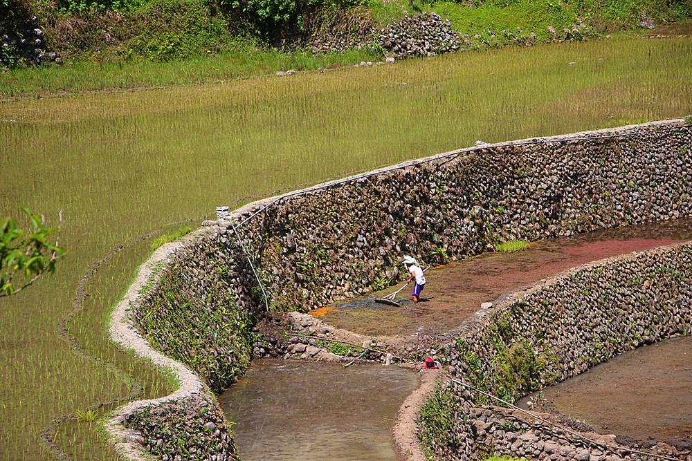 rizières Luzon