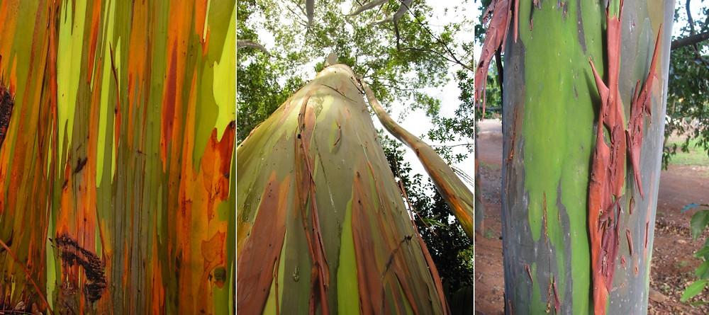Eucalyptus Deglupta arc en ciel