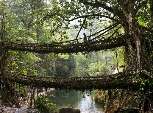 Les Ponts en Racines Tressées de Nongriat en Inde