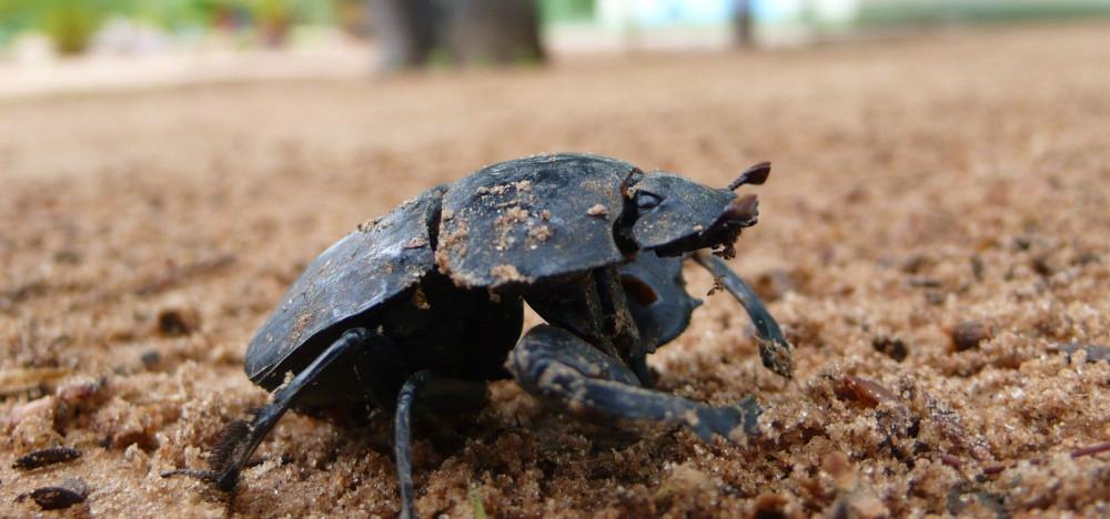scarabée namibie botswana