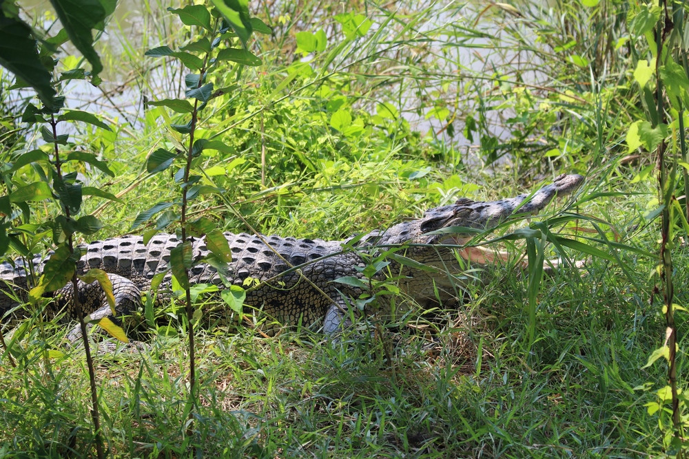crocodile Sundarbans voyage Bangladesh
