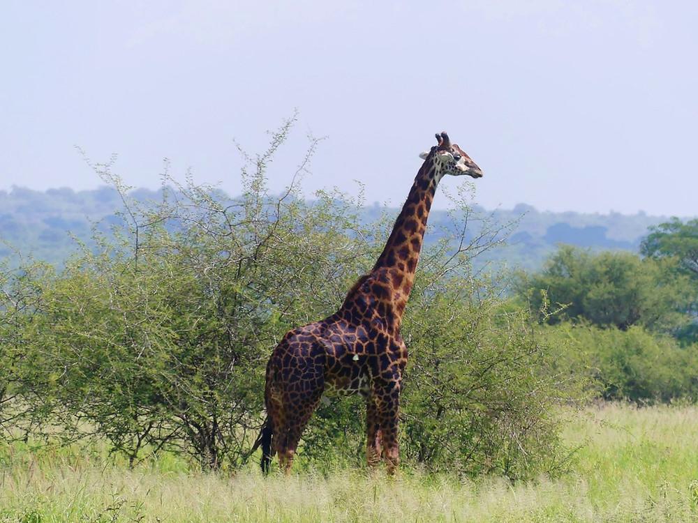 Girafe parc Tarangire Tanzanie