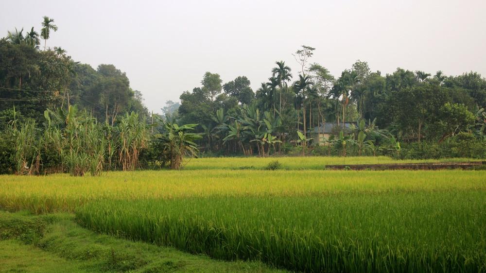 rizières srimangal bangladesh