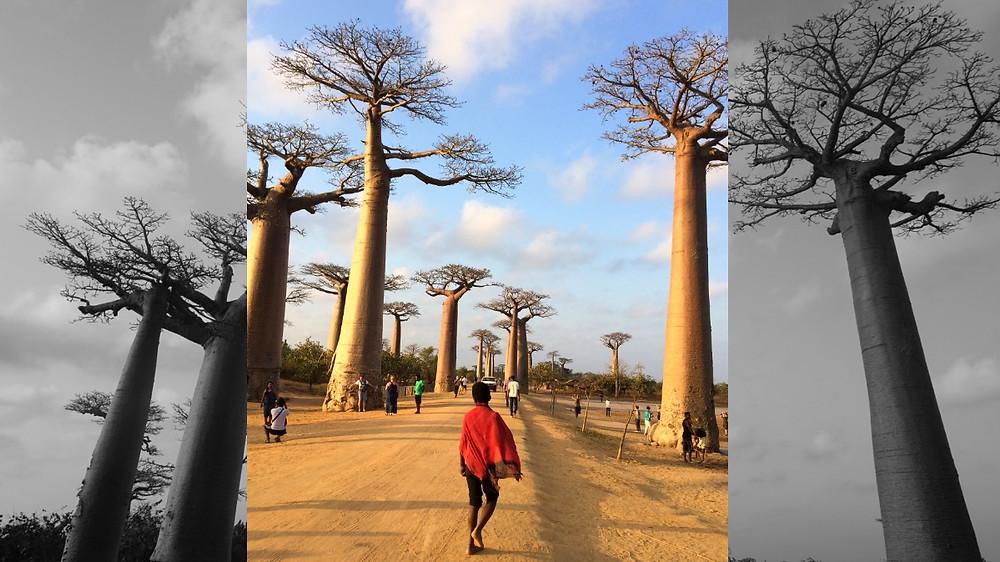 allée des baobabs Madagascar garçon