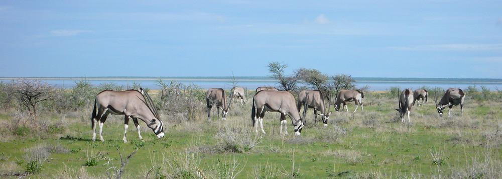 Etosha Namibie Oryx