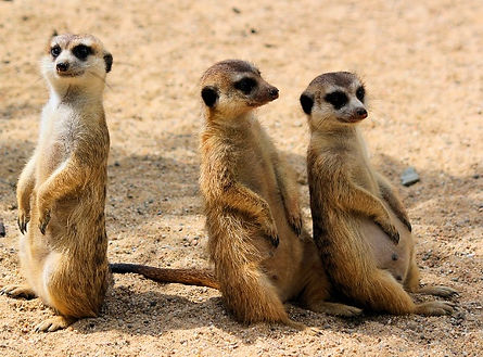 grootfontein namibie suricates.jpg