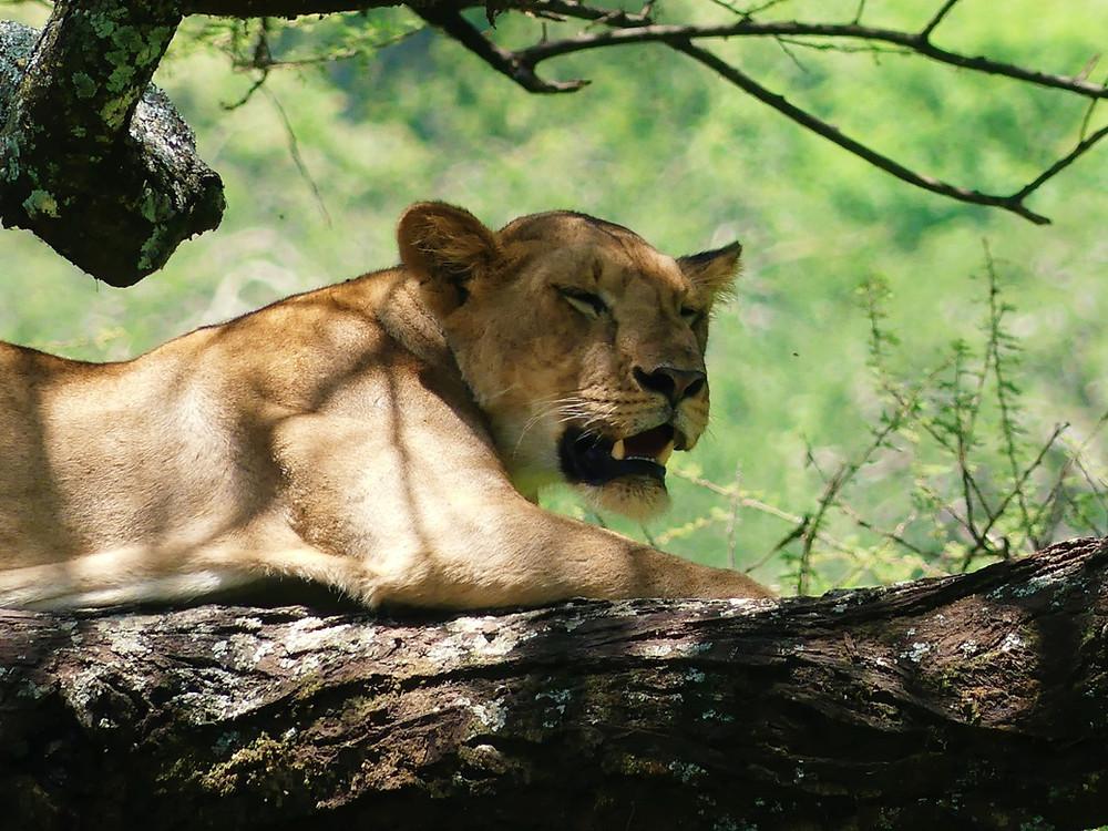 parc du lac Manyara en Tanzanie