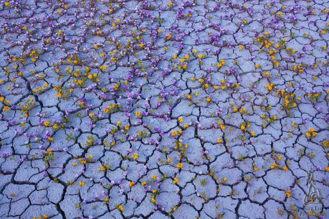 Fleurs violettes colorado