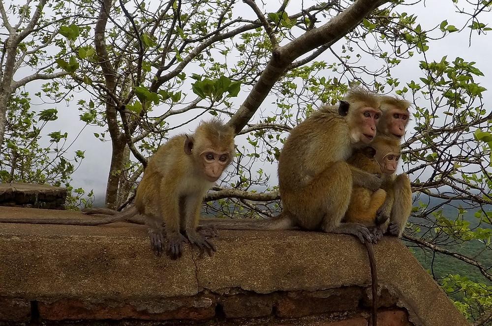 singes Sigîriya au Sri Lanka