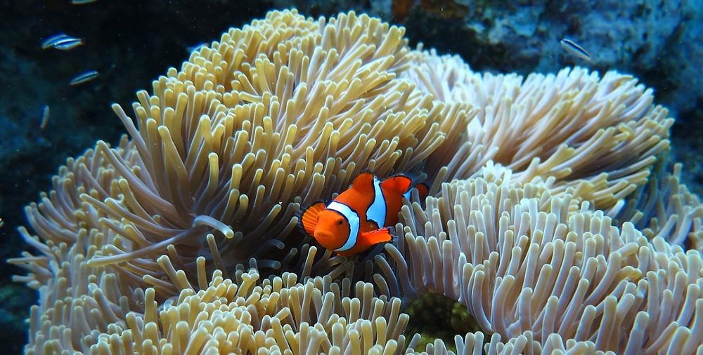 poisson clown Raja Ampat
