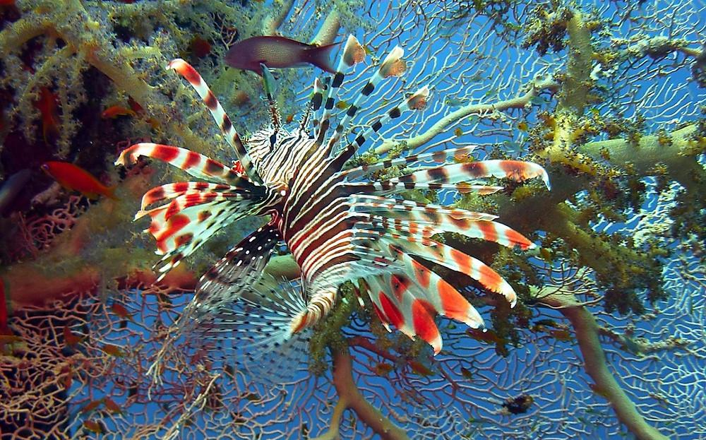 spottin lion fish Raja Ampat