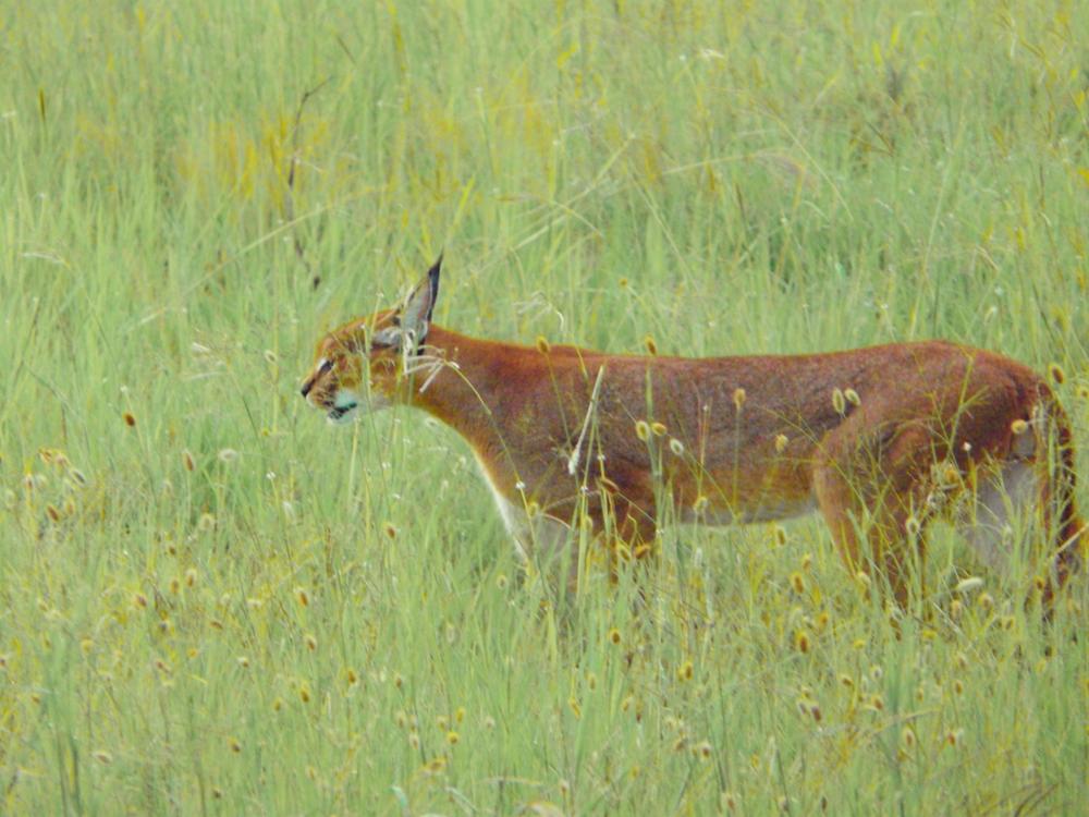 Caracal Serengeti