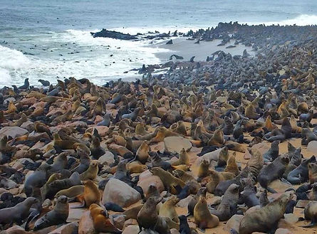 capecross otaries namibie.jpg