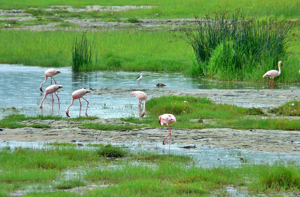 flamands roses ngorongoro