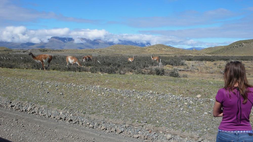 Trajet de El Calafate à Puerto Natales guanacos