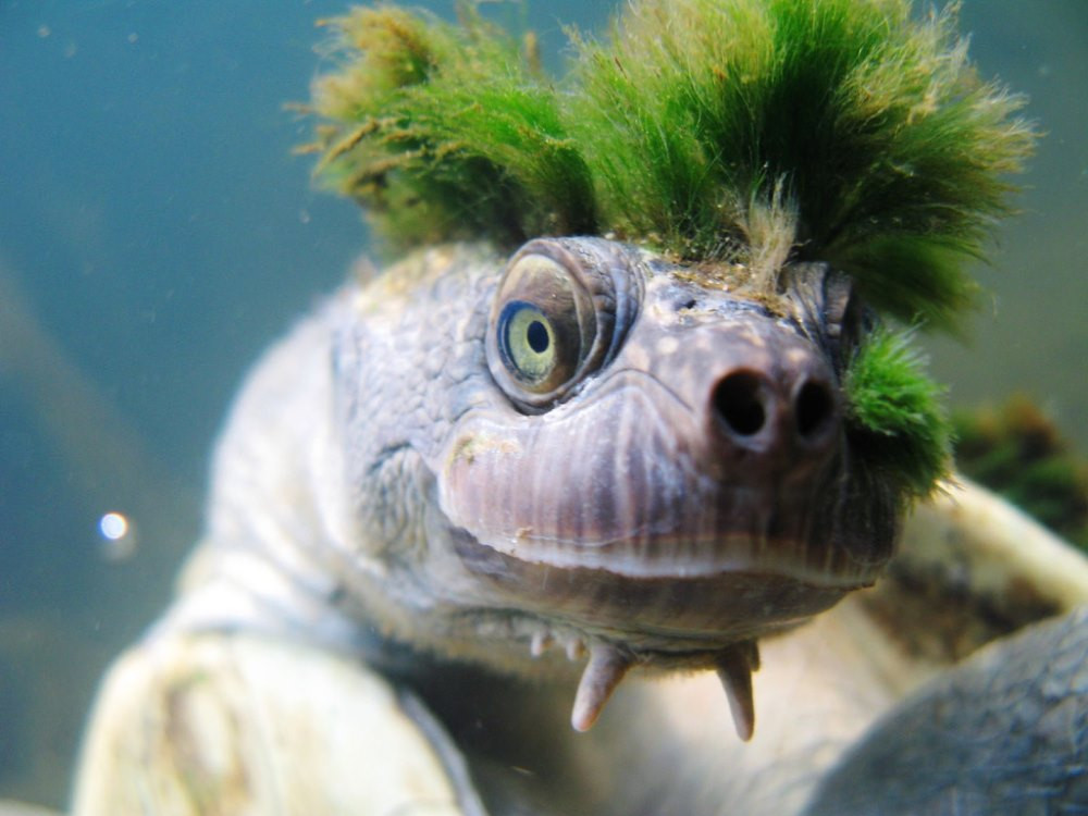 Des tortues PUNKS en Australie