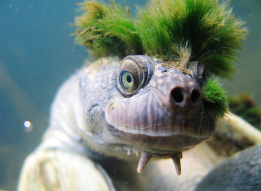 La Mary River Turtle : Une tortue punk en Australie
