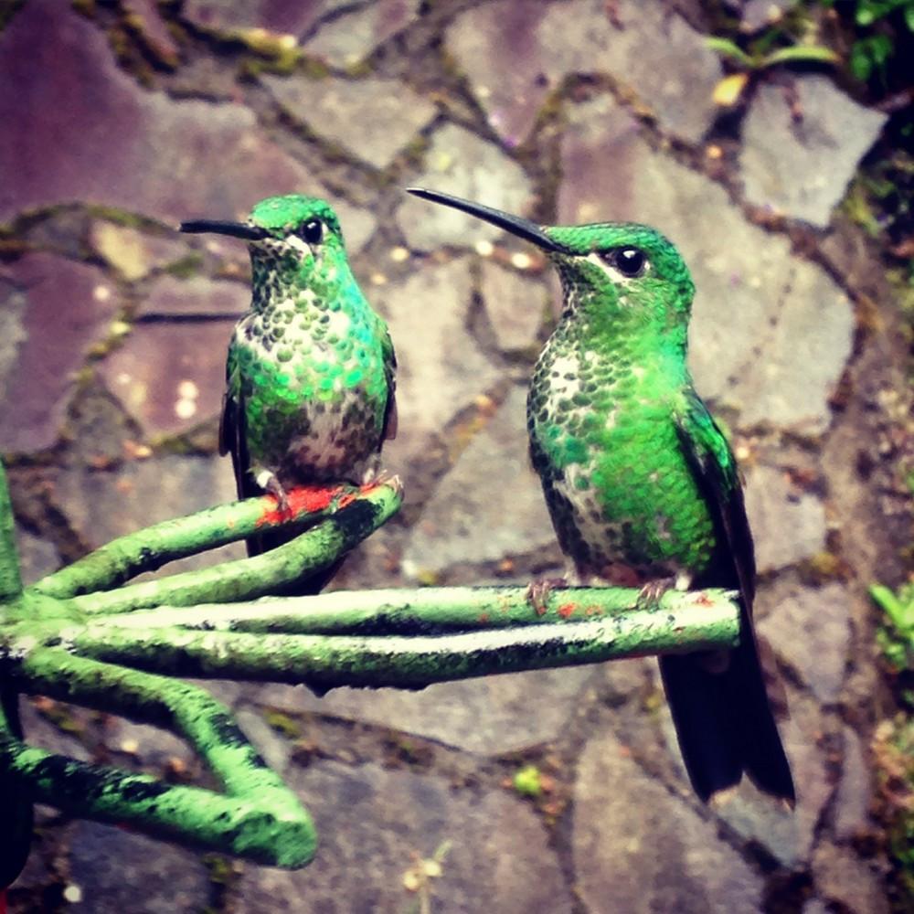 colibri monteverde