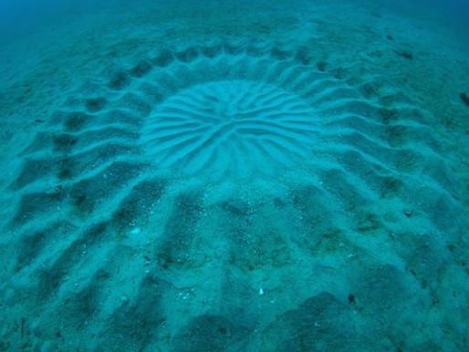 Les dessins sur sable des poissons-globe au Japon