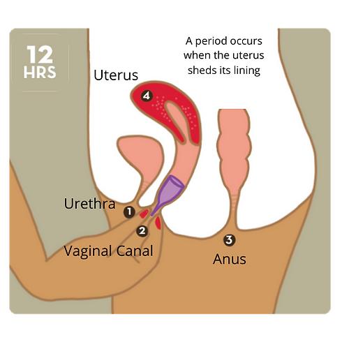 Urethra.png
