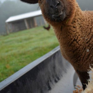 sheep in trough.jpg