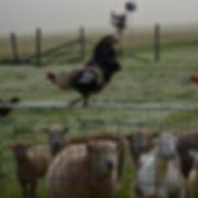 Chicken on Fence.jpg