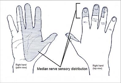 Sensory-innervation-of-the-median-nerve-