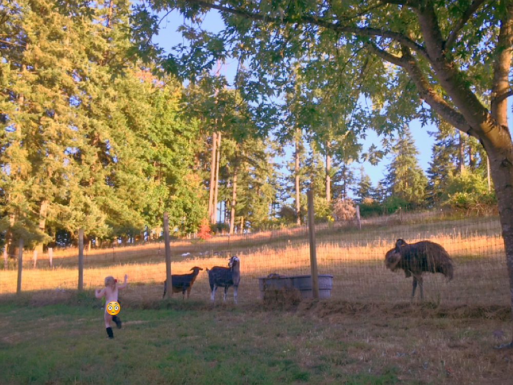Running with the bulls (or in our case, goats, emus, geese and dogs)