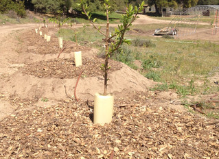 Looking to the future: Planting fruit trees