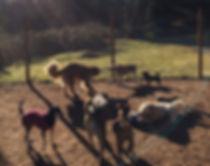 dog daycare nanaimo, doggy daycare, doggie daycare, dog walking nanaimo, holistic dog care, natural dog care, daycare for dogs nanaimo