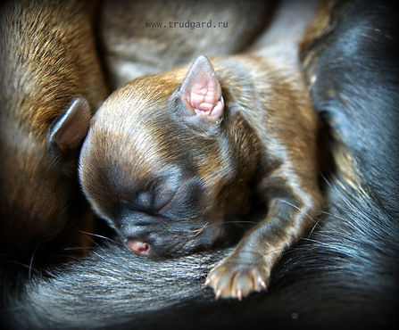 Petit Brabancon puppies. Mono-kennel Trudgard