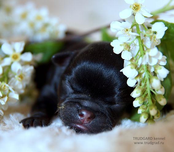 Petit Brabançon puppy. Mono-kennel Trudgard