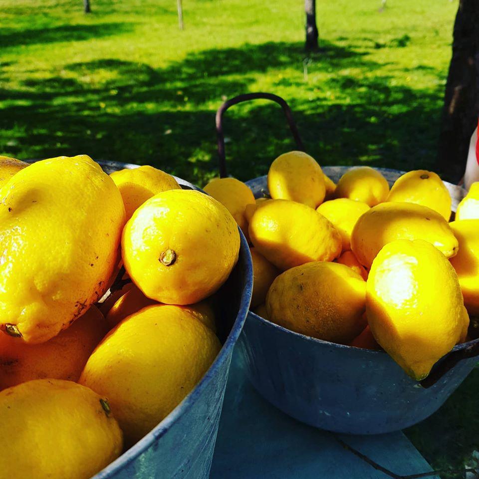 Limoni appena raccolti...