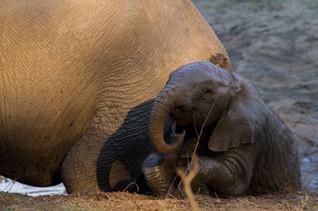 Eléphant se roulant dans la boue