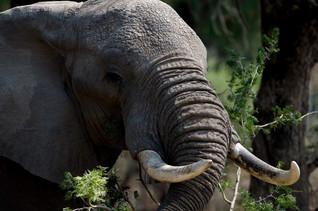 Eléphant en train de manger