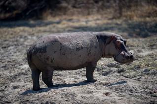 Hippopotame sortant de la boue